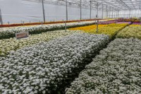 (VOL) Dinsdag 30 april excursie Dekker Chrysanten BV. te Hensbroek
